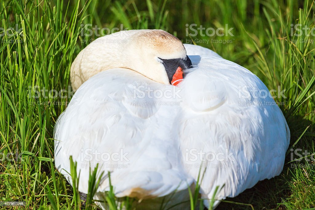 Mute swan sleeping in the grass stock photo