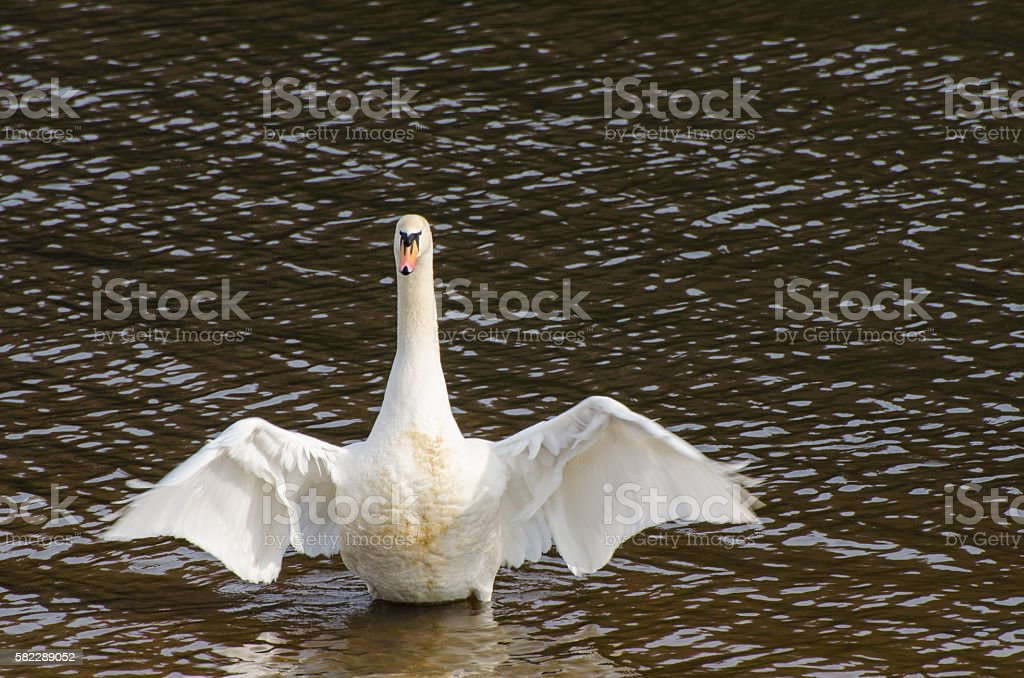 Mute Swan stretches its wings stock photo