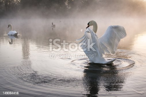 Mute Swan stretching and creating ripples on mist covered lake at dawn