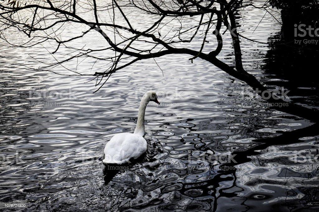 Mute swan swimming high contrast autumn scene stock photo
