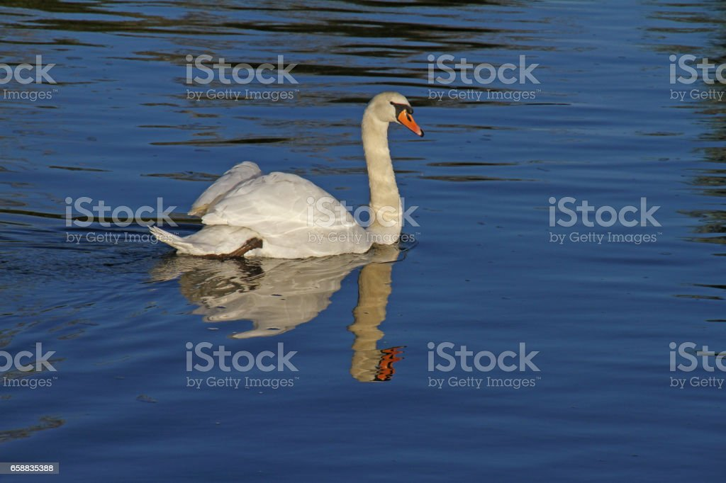 mute swan with an elegant reflection Latin name Cygnus olor family anatidae swimming in the river Thames at Port Meadow in Oxford in October stock photo