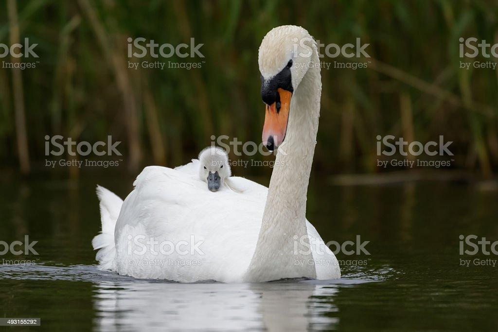 Mute Swan with cygnet stock photo