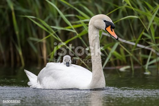 Mute Swan (Cygnus olor) carrying a young cygnet for faster travelling and protection.