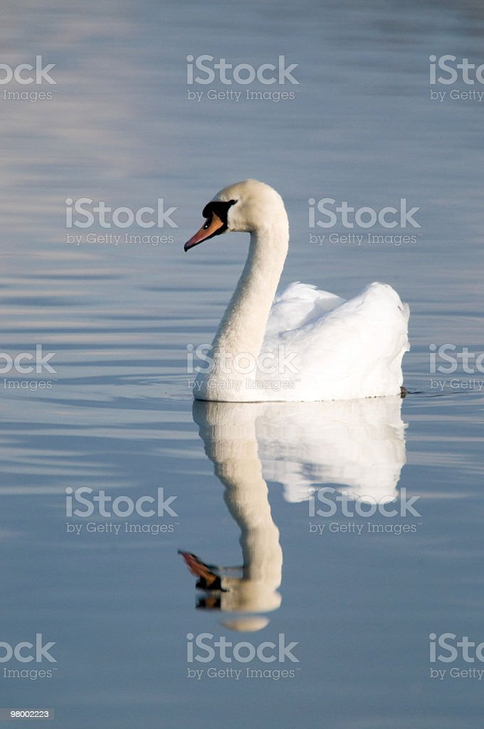 Mute Swan with its reflection royalty-free stock photo