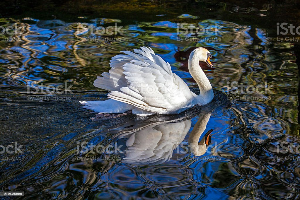 Mute Swan with reflection stock photo