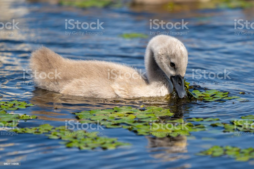 Mute Swan youngster in Danube Delta stock photo