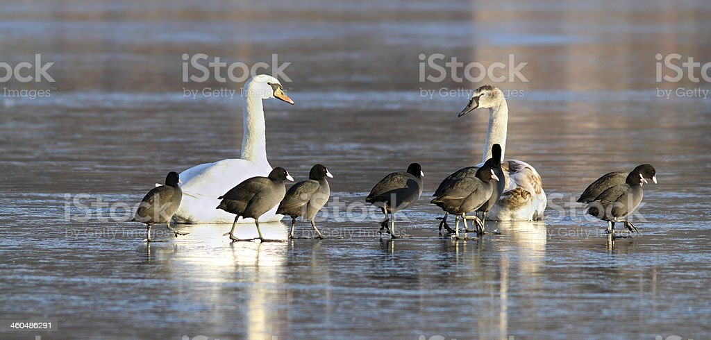 mute swans and coots together on ice royalty-free stock photo