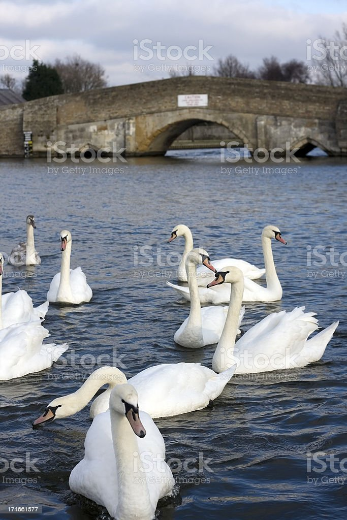 Mute swans and medieval bridge stock photo