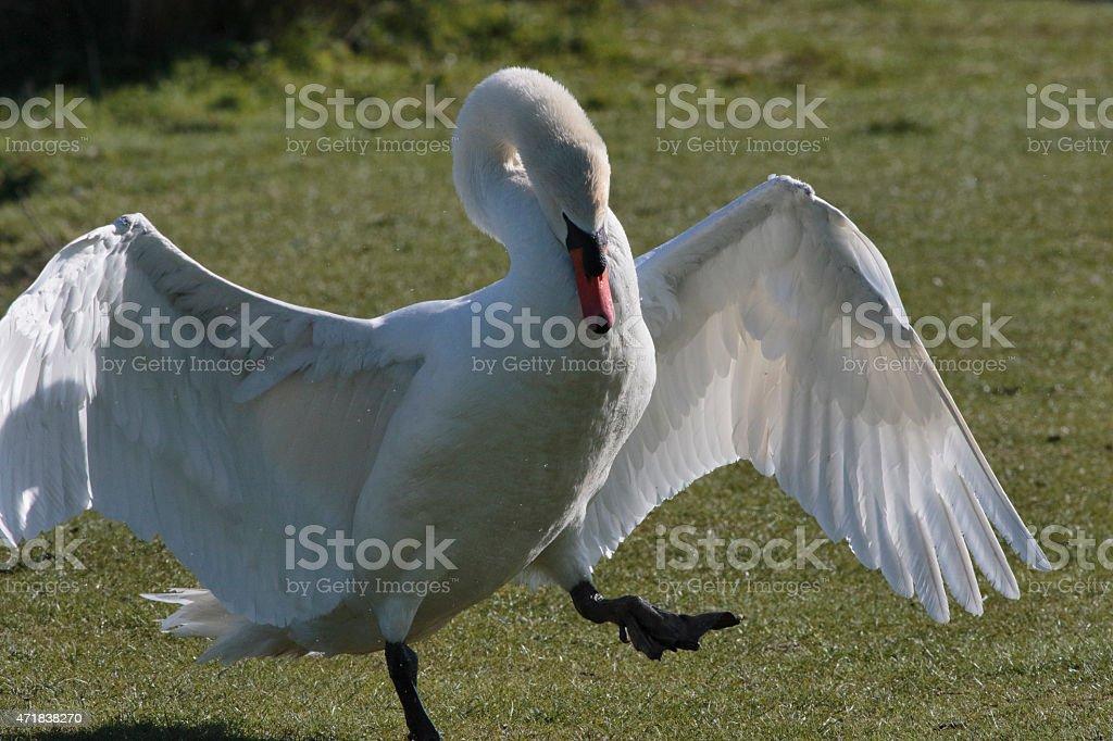 Aggressive male mute swan Cygnus olor on land maximum threat stock photo