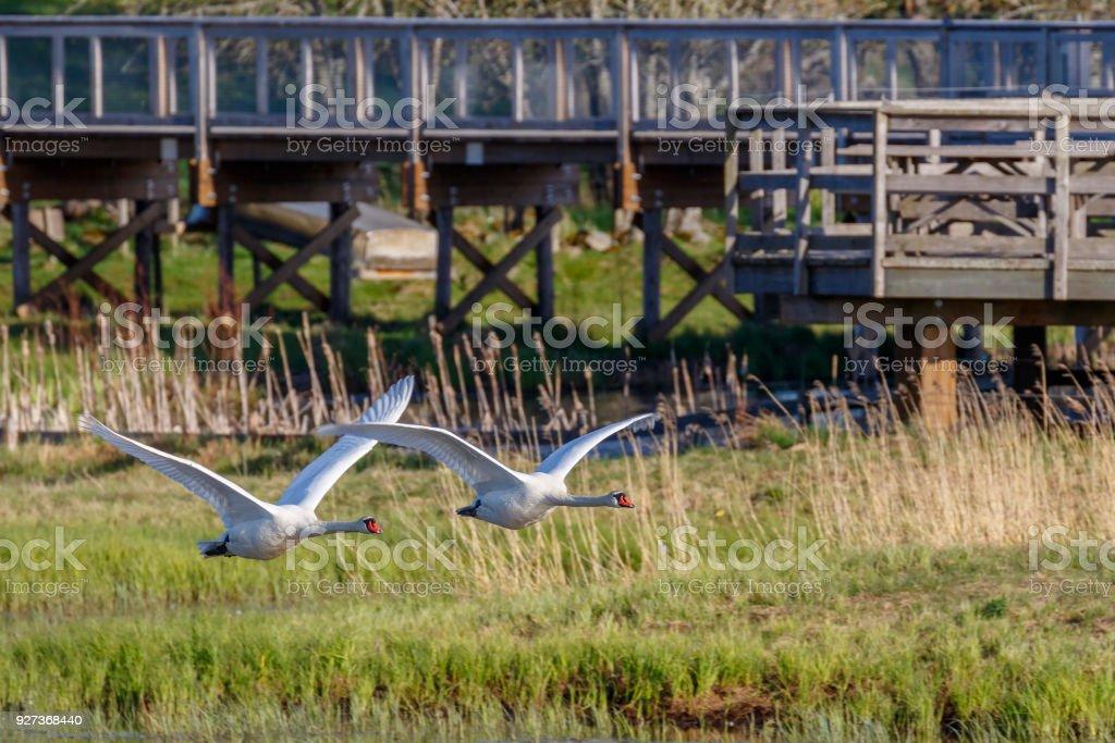 Mute Swans flying beside a footbridge - Royalty-free Animal Body Part Stock Photo
