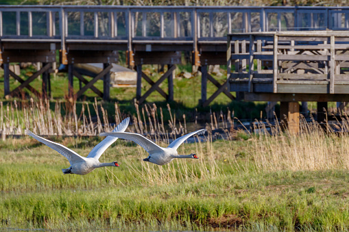 Mute Swans Flying Beside A Footbridge Stock Photo - Download Image Now