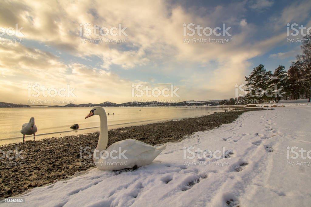 Mute swans in cold weather in Hamresanden, Norway stock photo
