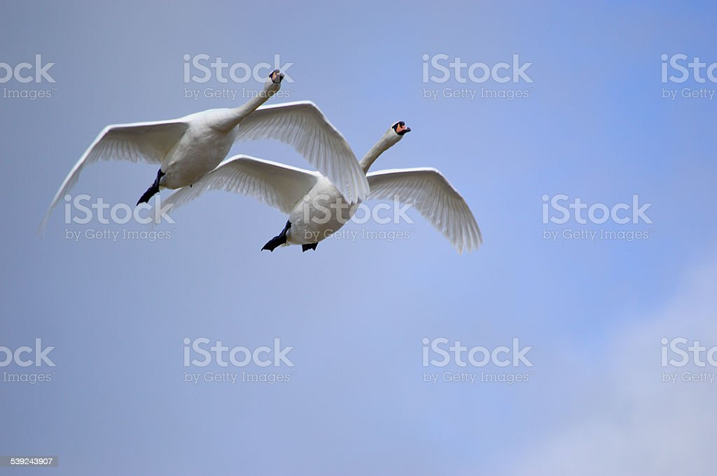 Mute Swans in Flight royalty-free stock photo