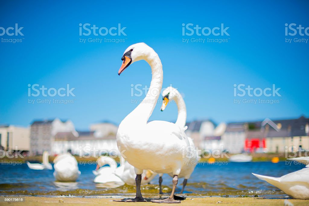 Mute swans in Galway city. stock photo