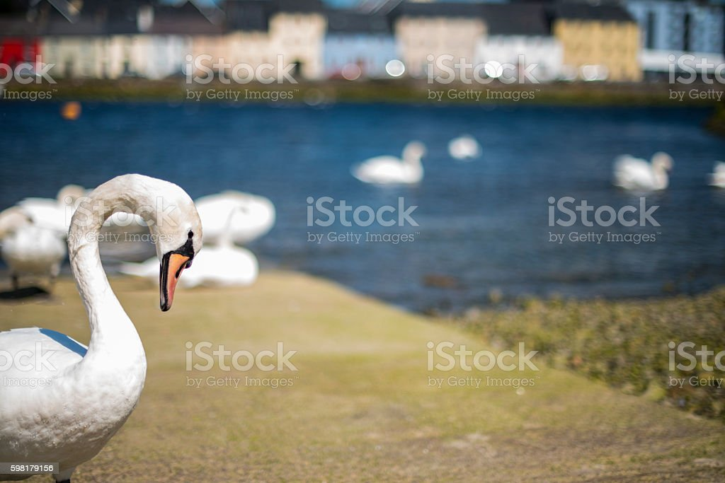Mute swans in Galway city. royalty-free stock photo
