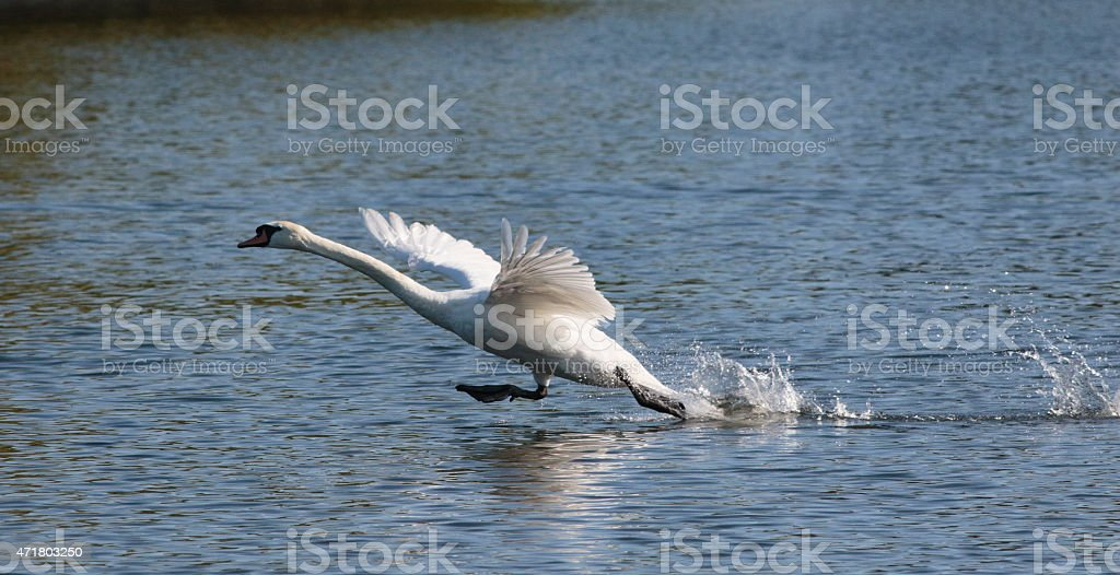 Mute swan takes off during chase stock photo