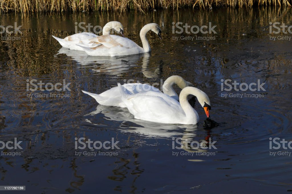Mute swans navigating icy waters on Mitcham Pond Surrey stock photo