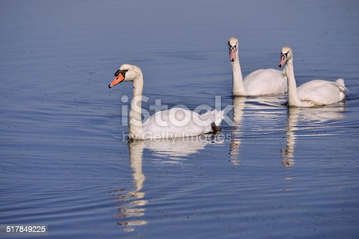 Three wild Mute swans (Cygnus olor) swimming in the marshes of Arcachon Bay in France