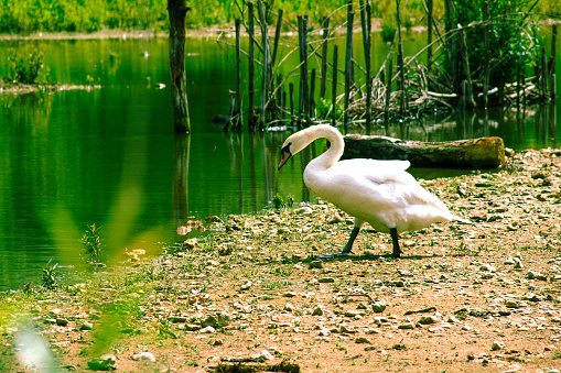 Large white waterfowl walking towards the water of a green swamp