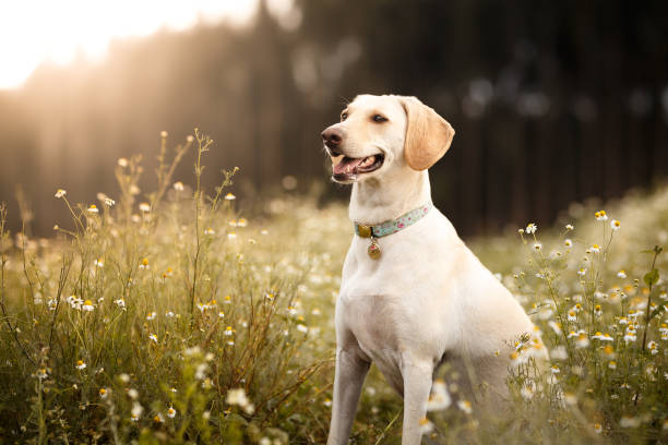 Mutt dog smiling in the fields Mutt dog in the fields. labrador retriever stock pictures, royalty-free photos & images