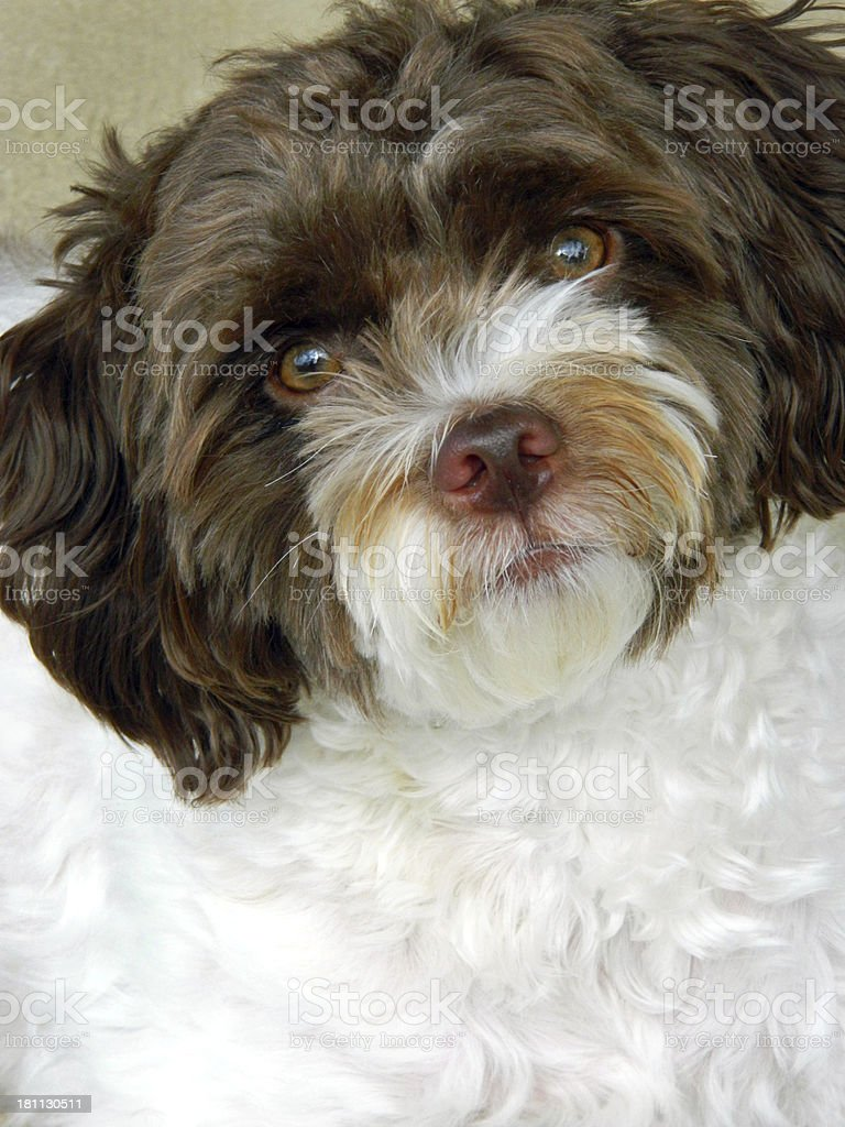 Mutt Face royalty-free stock photo