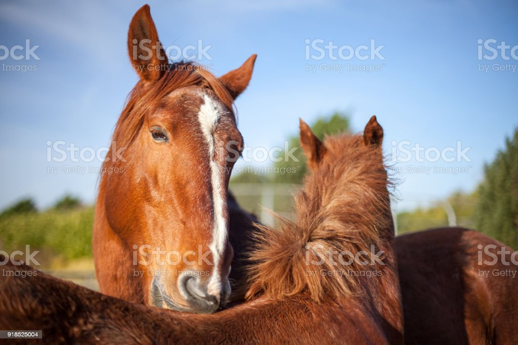 Mutual grooming in chestnut horses. Affectionate social animal...