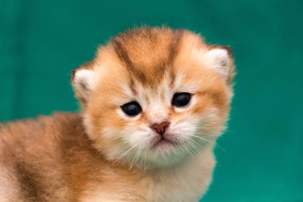 Muzzle a ginger Golden British kitten close-up stock photo