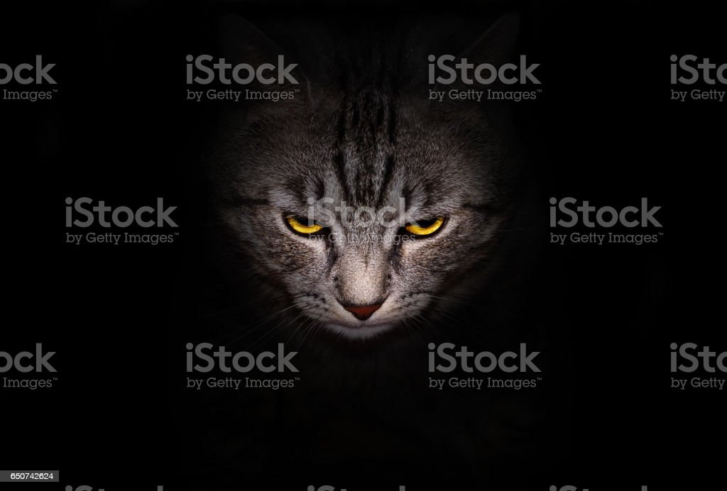 Muzzle and bright yellow eyes cat stares menacingly out of the darkness, on a black background. stock photo