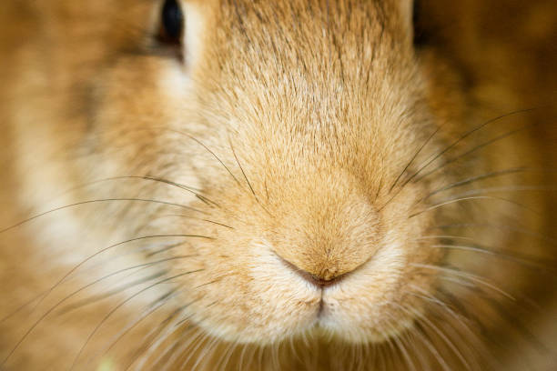 muzzle close-up of a funny cute red rabbit stock photo
