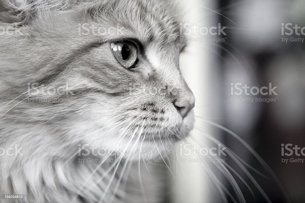Muzzle fluffy cat with long whiskers stock photo