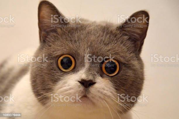 Muzzle of a british cat with big eyes frightened animal picture id1033376444?b=1&k=6&m=1033376444&s=612x612&h=0kvfyxhjbcc2k8ag fpn2pdwm edcsxs5g cidsusn8=