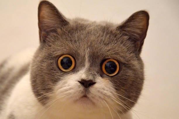一隻大眼睛的英國貓的槍口。受驚的動物 - 吃驚 個照片及圖片檔
