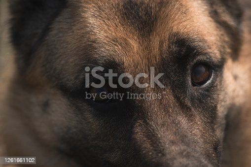 Muzzle of a dog close-up. The eyes of a German shepherd.