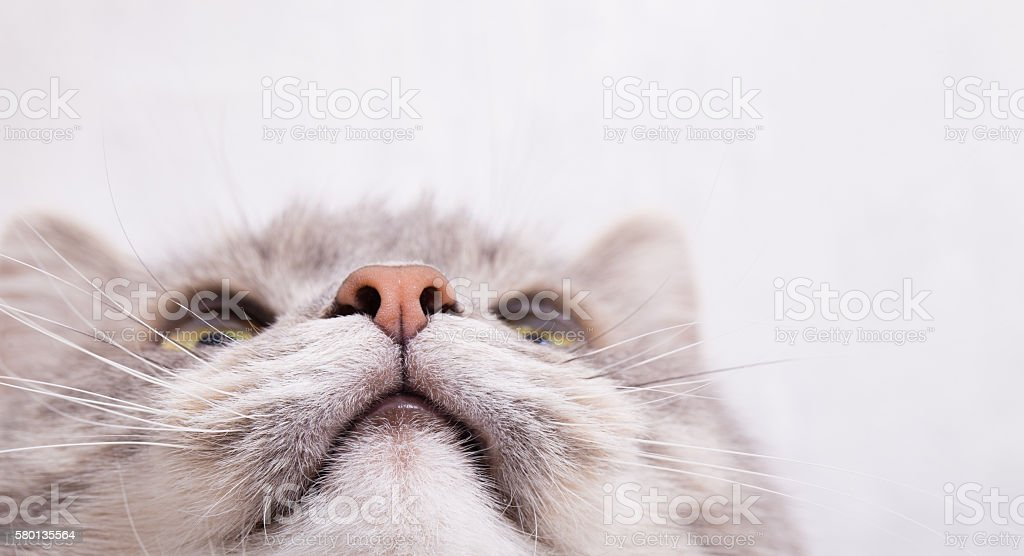 Muzzle of a gray cat, bottom view - foto de stock