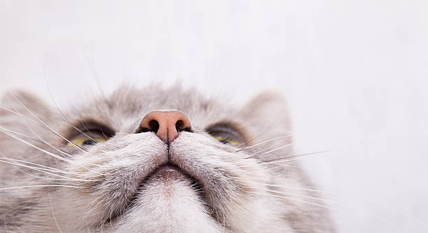 Muzzle of a gray cat, bottom view Muzzle of a gray cat, bottom view. Light background, close up, small depth of sharpness, free space above and on the right snout stock pictures, royalty-free photos & images
