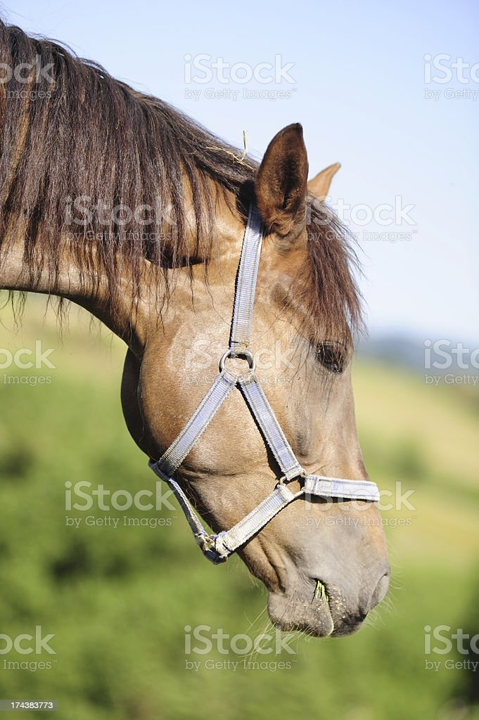 Muzzle of a horse royalty-free stock photo