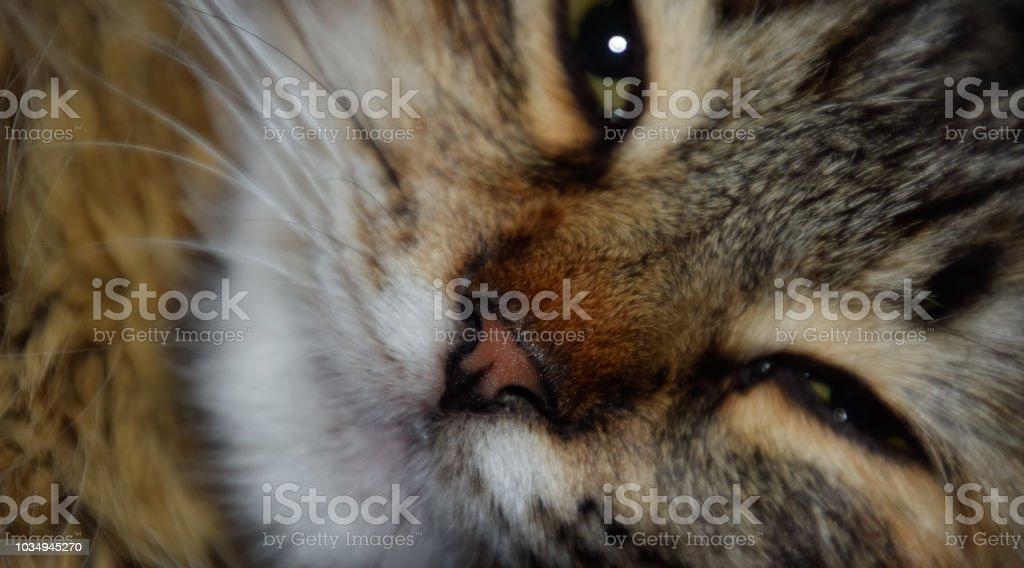 Muzzle of a striped cat. Domestic cat