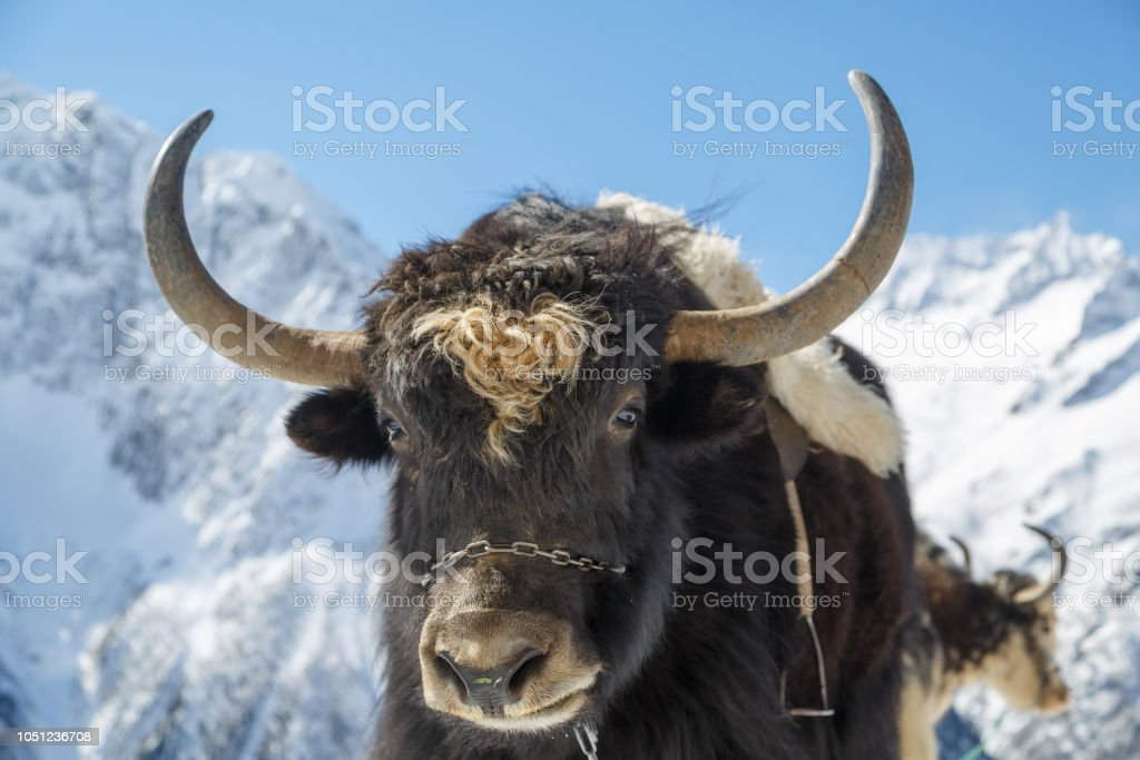 Muzzle of shaggy horned yak on the background of beautiful snow-white mountains of the Caucasus, close-up stock photo