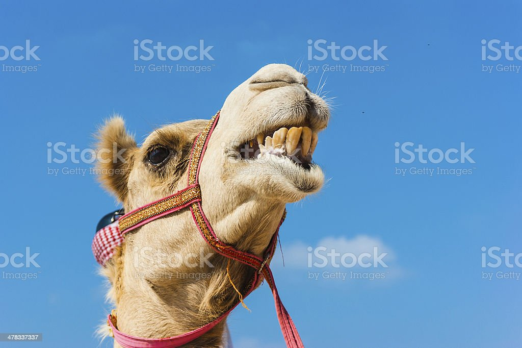 muzzle of the African camel stock photo