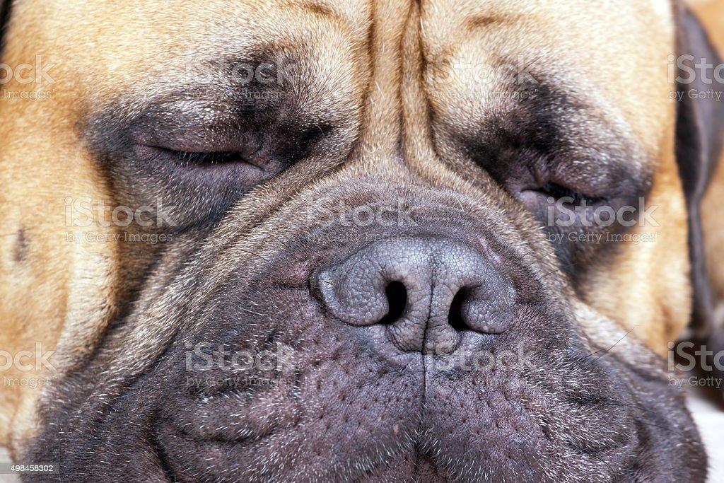 muzzle old big dog stock photo