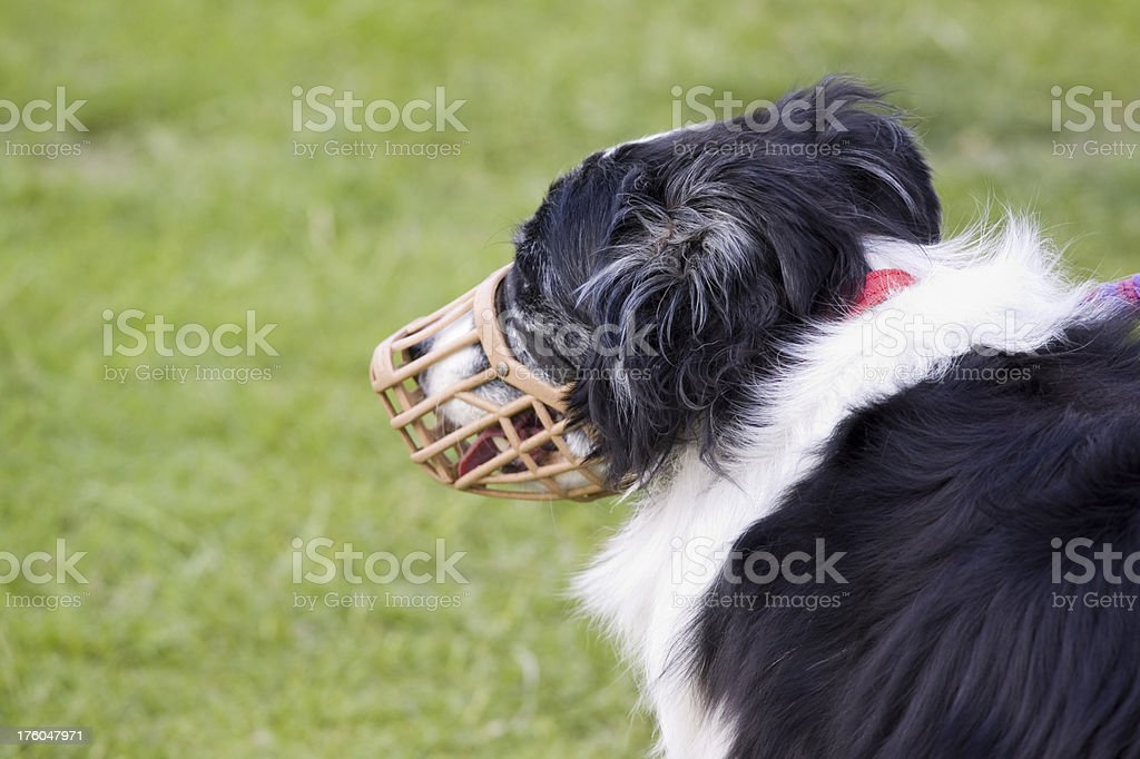 Muzzled Dog royalty-free stock photo