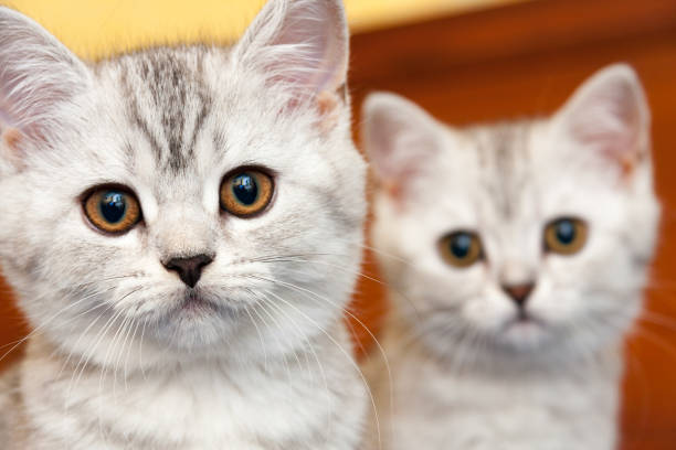 Muzzles of two British kittens of black and white color stock photo