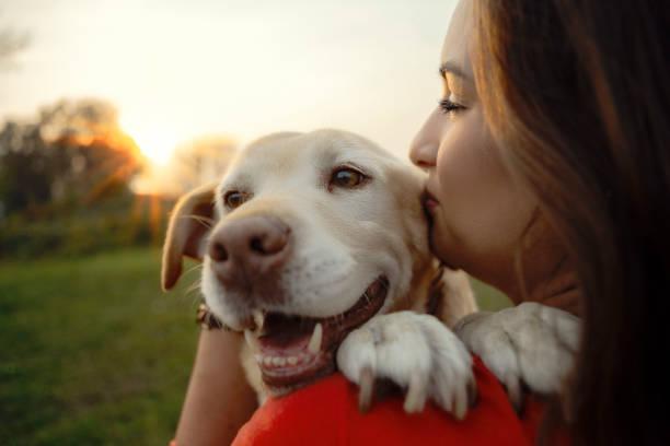 mi amado perro labrador - dog fotografías e imágenes de stock