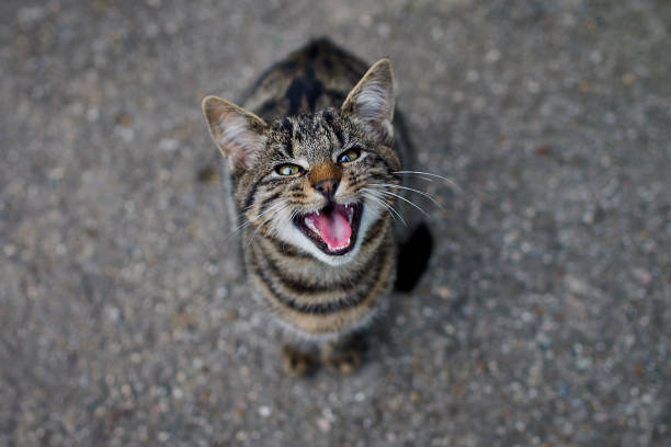 my cat is meowing, she wants something to eat - carnivora stock photos and pictures