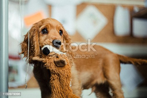 Cocker spaniel puppy looking up while holding a stuffed toy in his mouth.