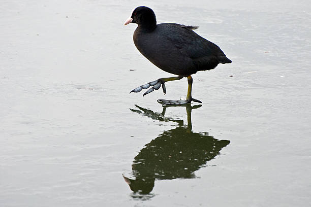 My feet are freezing A Coot (Fulica atra) lifting one foot off the ice on a frozen lake. coot stock pictures, royalty-free photos & images