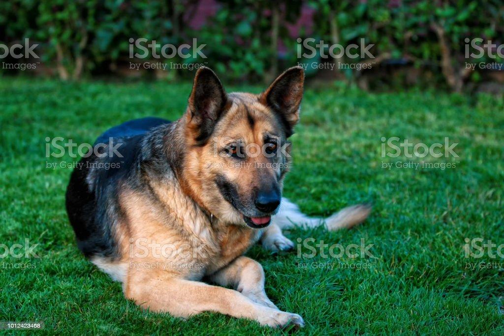 my German shepherd, Lousi