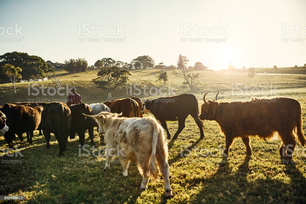 My herd is an extension of my family stock photo