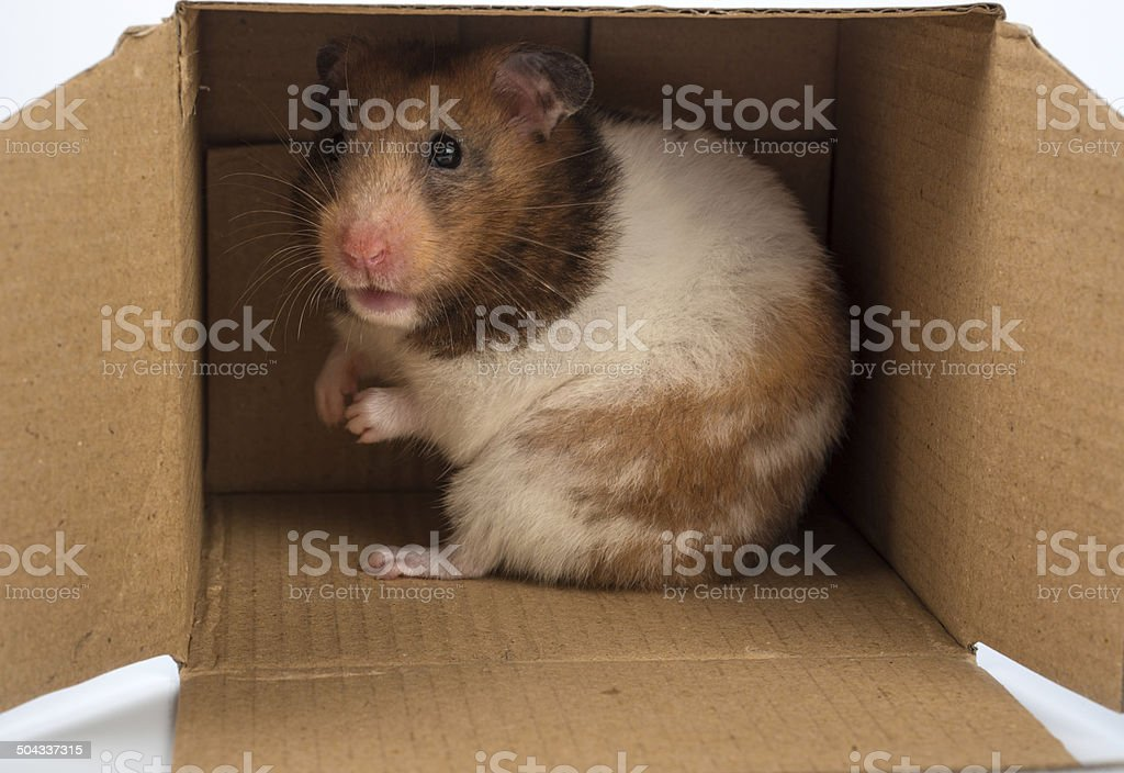 my home is my castle- Golden hamster in a box stock photo