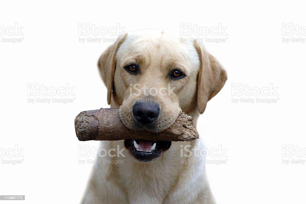 My Labrador royalty-free stock photo